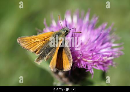 Small Skipper Thymelicus sylvestris on Common Knapweed - Stock Photo