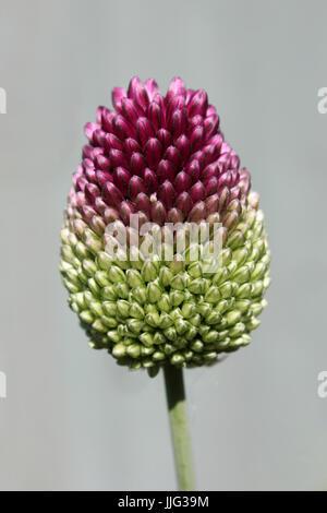 Allium Sphaerocephalon a.k.a. Round-headed Leek - Stock Photo