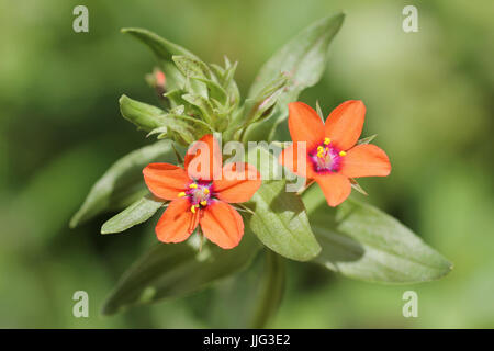 Scarlet Pimpernel Anagallis arvensis - Stock Photo