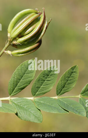 Seed Pods and leaves of Wild Liquorice Astragalus glycyphyllos - Stock Photo