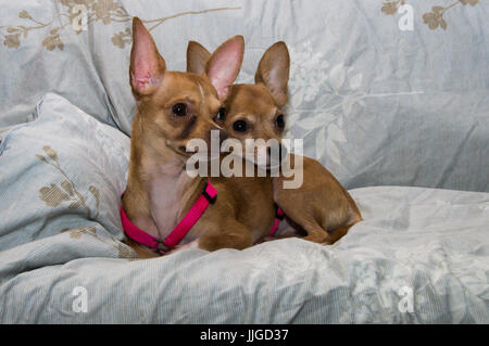 Two dogs laying on a couch - Stock Photo