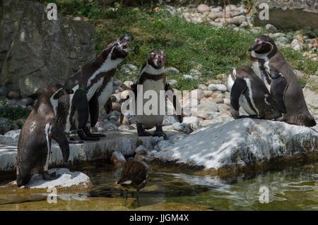 Humboldt Penguins Calling - Stock Photo