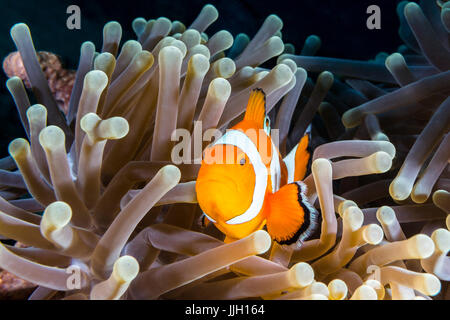 A false-clown anemonefish, lovingly known as Nemo, peers out from an anemone home in Manado, Indonesia.