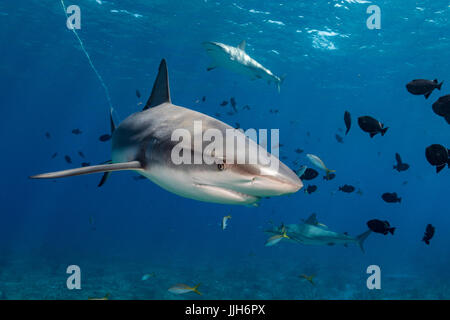 A Caribbean Reef Shark swims right up to the camera near Bimini, Bahamas. - Stock Photo