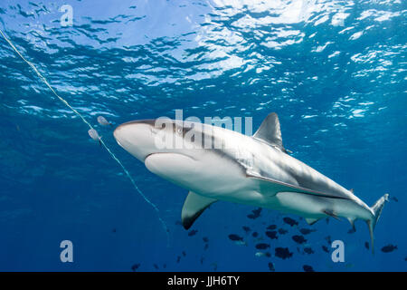 A Caribbean Reef Shark swims overhead in the waters near Bimini, Bahamas. - Stock Photo