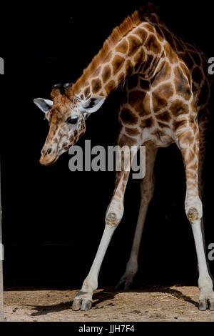 Giraffe with Black background - Stock Photo