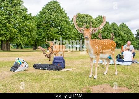 Richmond, London, UK - July 2017: Herd of fallow deer on a grass meadow in Bushy park next to two people having - Stock Photo