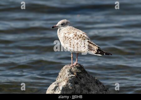 fledging American herring gull, Columbia River, Pasco, Tri-Cities, Washington State, USA - Stock Photo