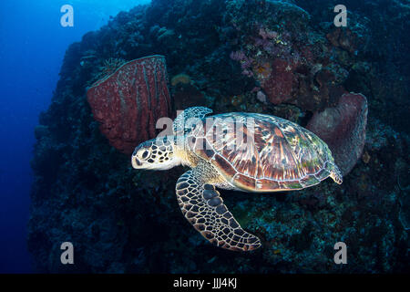 A green sea turtle swims off the reef for a breathe at the dive site Lekuan I in Bunaken Marine Park in North Sulawesi, - Stock Photo