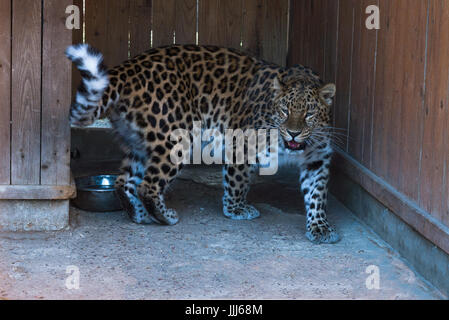 the far Eastern snow leopard at the zoo. - Stock Photo
