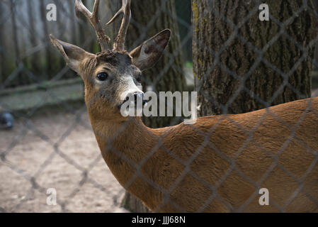 ROE deer, the goat in the zoo mesh. - Stock Photo