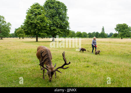 Richmond, London, UK - July 2017: Red Deer feeding on a grass meadow in Bushy park next to an old woman walking - Stock Photo