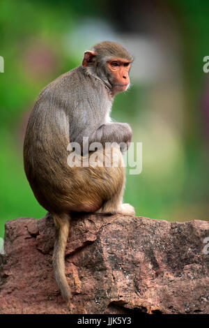 Rhesus monkey (Macaca mulatta), adult, sitting on rock, occurrence Asia - Stock Photo
