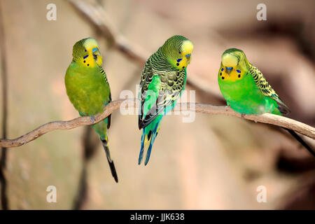 Budgies (Melopsittacus undulatus), group of males on branch, Australia - Stock Photo