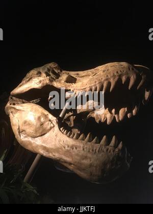Skull of a tyrannosaurus rex against a black background.  Isolated T-rex skull on black. Large dinosaur skull.  - Stock Photo