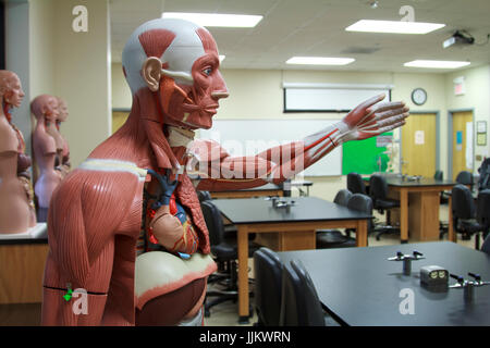 Anatomy Models in science medical school classroom - Stock Photo