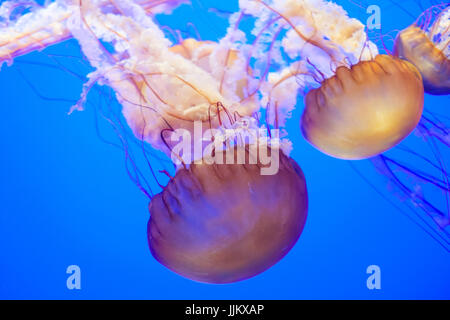 jelly fishes swimming downward - Stock Photo