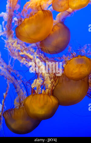 group of jelly fishes swimming upside down - Stock Photo