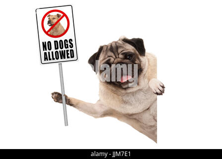 smiling pug puppy dog holding up prohibitory no dogs allowed sign, isolated on white background - Stock Photo
