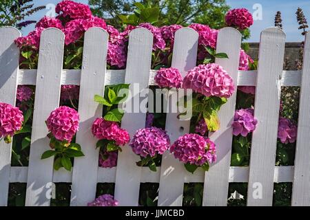 Pink hortensia and a white wood fence against blue sky - Stock Photo