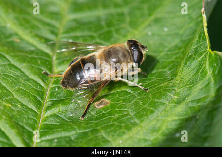 Drone fly, Eristalis tenax, a hoverfly resting on a leaf in the sunshine, Berkshire, July - Stock Photo