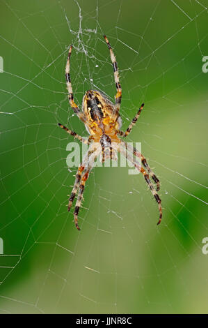 Cross Spider in web, North Rhine-Westphalia, Germany / (Araneus diadematus) / Cross Orbweaver, European Garden Spider - Stock Photo