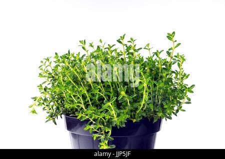 Fresh winter savory (Satureja montana) on white background. - Stock Photo