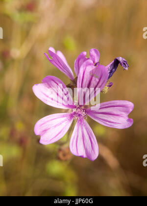 close up petals of a common mallow flower; Essex; UK - Stock Photo