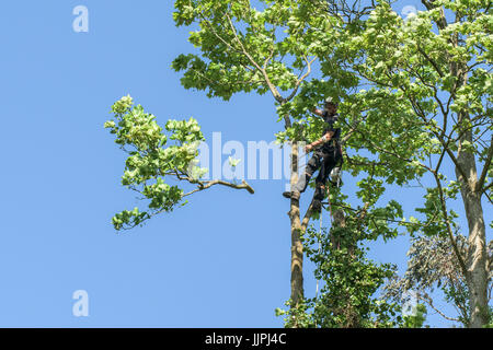 A tree surgeon lopping off branches of a sycamore tree. - Stock Photo