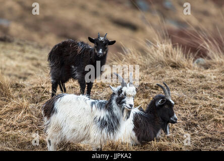 Goats at the Wild Goat Park in Galloway Forest Park in the Scottish Borders. - Stock Photo