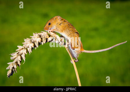 Harvest Mouse on Wheat Stalk - Stock Photo