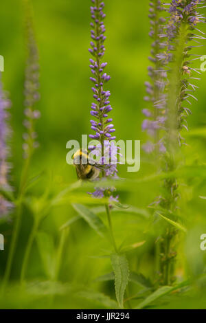 A beautiful bumblebee gathering pollen from blue flower in a summer meadow. Vibrant closeup scenery. - Stock Photo