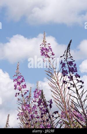 Flowers of Rosebay willowherb (Chamaenerion angustifolium). Bedgebury Forest, Kent, UK. - Stock Photo