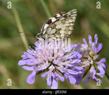 A black and white marbled white butterfly (Melanargia galathea) with closed wings takes nectar from a Field Scabious - Stock Photo