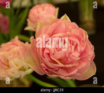 Tulip Only Me - Stock Photo