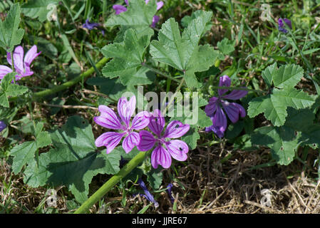 Mauve purple flowers with dark veins on a prostrate form of common mallow, Malva sylvestris, Berkshire, June - Stock Photo