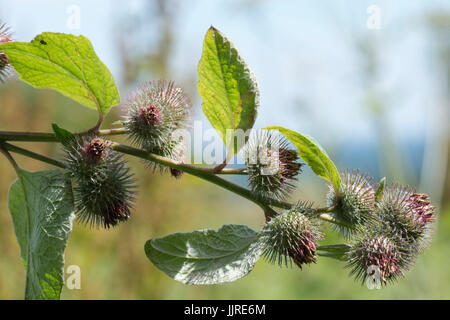 Lesser burdock, Arctium minus, flowers dying and producing seeds covered in small hooks like velcro which help in - Stock Photo