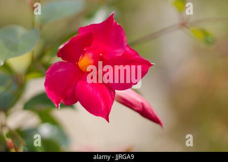 Dipladenia or sundaville flowering - Stock Photo