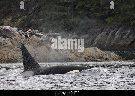 Transient adult male orca whale surfacing - Stock Photo