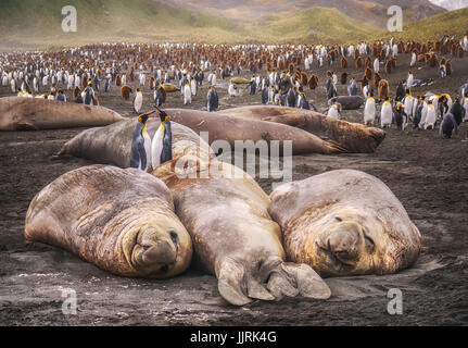 Two king penguins standing together beside 3 large resting elephant seals on South Georgia Island in the South Atlantic - Stock Photo