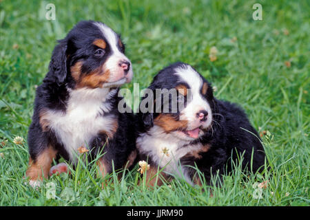 Bernese Mountain Dog, two puppies sitting together in grass - Stock Photo