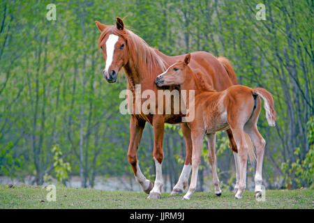 Chestnut Arabian Mare and Foal together in meadow - Stock Photo