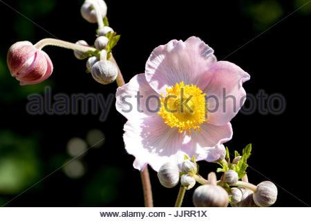 Anemone hupehensis, Chinese anemone, Japanese anemone, thimbleweed,  windflower Flowers with sunlight beautiful - Stock Photo