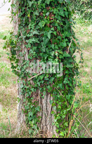 English ivy growing on a tree trunk. - Stock Photo