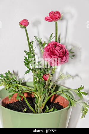 Dark red Ranunculus flower, Ranunculaceae family. Genus include the buttercups, spearworts, and water crowfoots. - Stock Photo