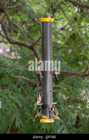 European Goldfinch or Goldfinch (Carduelis carduelis), adult and juvenile birds on niger seed bird feeder, London, - Stock Photo