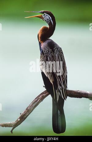 Oriental darter or Indian darter, (Anhinga melanogaster), Keoladeo Ghana National Park, Bharatpur, Rajasthan, India - Stock Photo