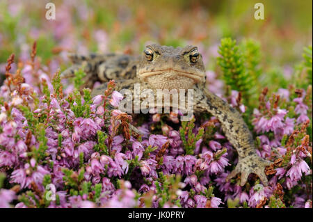 Earth toad Bufo bufo, Erdkroete Bufo bufo - Stock Photo