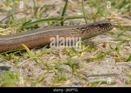 Blindworm Anguis fragilis, Blindschleiche Anguis fragilis - Stock Photo