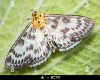 Extreme detailed close up of the small magpie. Scientific name of the moth: Anania hortulata. Photographed in The - Stock Photo